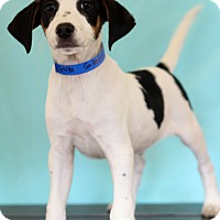Adopt A Pet :: Gibson - Waldorf, MD