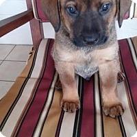 Adopt A Pet :: Tilly puppy 4 -17 Murphy - adoption pending - Lithia, FL