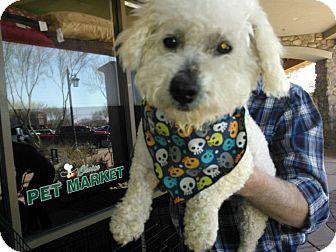 Bichon Frise/Poodle (Miniature) Mix Dog for adoption in Scottsdale, Arizona - Cloud