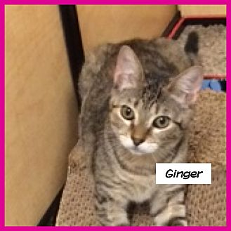 Domestic Shorthair Cat for adoption in Miami, Florida - Ginger