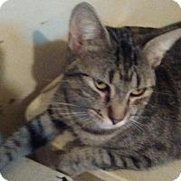 Domestic Shorthair Cat for adoption in Ocala, Florida - Jumpy
