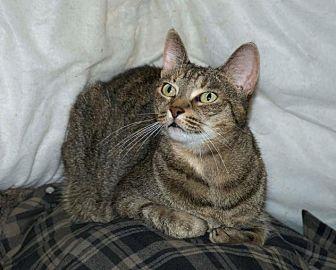 Domestic Shorthair Cat for adoption in Sunderland, Ontario - Bella (URGENT)