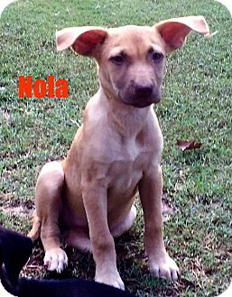 Labrador Retriever/Hound (Unknown Type) Mix Puppy for adoption in North Brunswick, New Jersey - Nola
