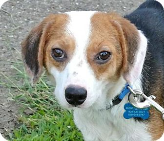 Beagle/Terrier (Unknown Type, Small) Mix Dog for adoption in Murphy, North Carolina - Anna Mae
