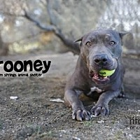 Adopt A Pet :: Rooney - Palm Springs, CA