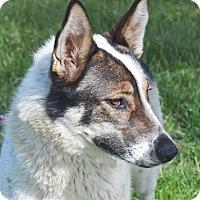 Adopt A Pet :: Foxy - Mountain Center, CA