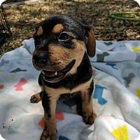 Adopt A Pet :: Tilly puppy 1- 17 Mattie. Adoption pending. - Lithia, FL