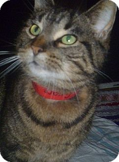 Domestic Shorthair Cat for adoption in Hamburg, New York - Grace Kelly