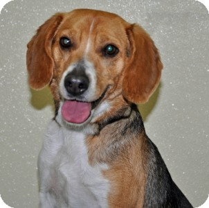 Beagle Dog for adoption in Port Washington, New York - Toscano