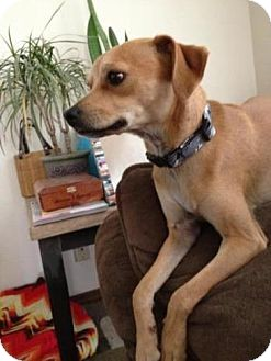 Chihuahua/Dachshund Mix Dog for adoption in Las Vegas, Nevada - Rusty