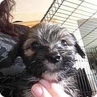 Adopt A Pet :: Fluffy - pasadena, CA
