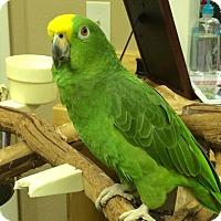 Adopt A Pet :: Neo - Punta Gorda, FL