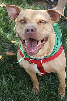 American Staffordshire Terrier Mix Dog for adoption in Fredericksburg, Virginia - Zach- Lucky Dog Rescue