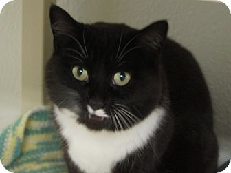 Domestic Shorthair Cat for adoption in Libby, Montana - Allie
