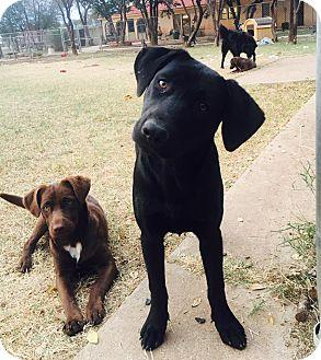 Labrador Retriever Mix Dog for adoption in Snyder, Texas - Duncan