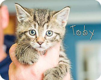 Domestic Shorthair Kitten for adoption in Somerset, Pennsylvania - Toby