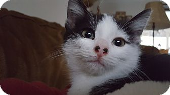 Domestic Shorthair Kitten for adoption in Irwin, Pennsylvania - Piggy