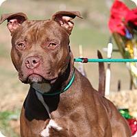 Pit Bull Terrier Mix Dog for adoption in Marietta, Ohio - Bo (Neutered)