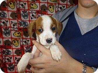 Beagle Mix Puppy for adoption in Oviedo, Florida - Eric