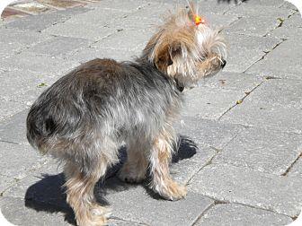 Yorkie, Yorkshire Terrier Dog for adoption in Orange County, California - Pumpkin