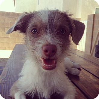 Terrier (Unknown Type, Small) Mix Puppy for adoption in Las Vegas, Nevada - Addison