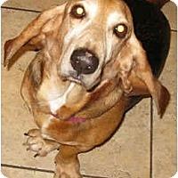 Adopt A Pet :: Amigo - Phoenix, AZ