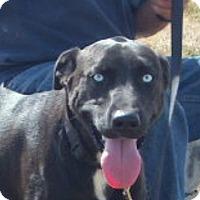 Adopt A Pet :: Mickey Blue Eyes - Windsor, MO