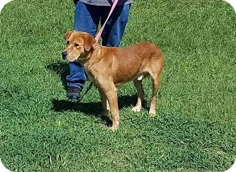 Golden Retriever/Hound (Unknown Type) Mix Dog for adoption in Billerica, Massachusetts - Scrappy
