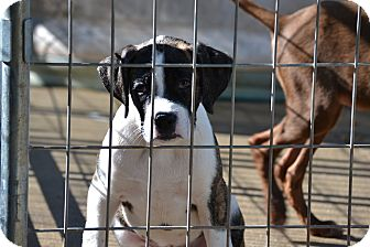 Boxer Mix Puppy for adoption in Pikeville, Maryland - Boss