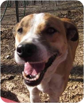 Golden Retriever/Boxer Mix Dog for adoption in Afton, Tennessee - Rosie