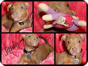 Doberman Pinscher/Pit Bull Terrier Mix Puppy for adoption in Atlanta, Georgia - Janie