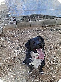 Australian Shepherd/Spaniel (Unknown Type) Mix Dog for adoption in Littlerock, California - Duke