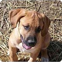Adopt A Pet :: Adam - Albany, NY