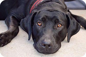 Labrador Retriever Mix Dog for adoption in DFW, Texas - Joy