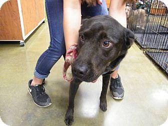 Labrador Retriever/Chow Chow Mix Dog for adoption in Macon, Georgia - Gurley