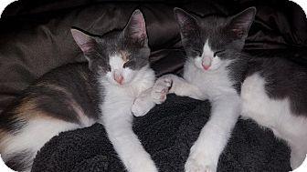 Domestic Shorthair Kitten for adoption in Cherry Hill, New Jersey - Walker