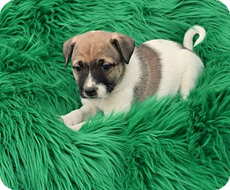 Shepherd (Unknown Type) Mix Puppy for adoption in Groton, Massachusetts - Bodhi