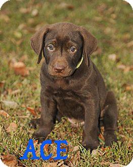 Labrador Retriever Mix Puppy for adoption in Colmar, Pennsylvania - Ace