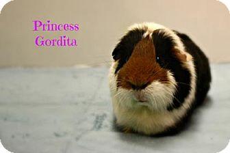 Guinea Pig for adoption in West Des Moines, Iowa - Princess Gordita
