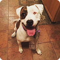 Staffordshire Bull Terrier Mix Dog for adoption in Manchester, New Hampshire - ANNIE