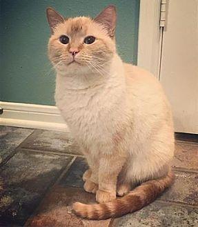 Siamese Cat for adoption in The Woodlands, Texas - Casanova
