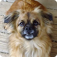 Tibetan Spaniel/Pekingese Mix Dog for adoption in Spartanburg, South Carolina - Gizmo