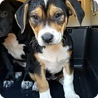 Adopt A Pet :: Sage - Gainesville, FL