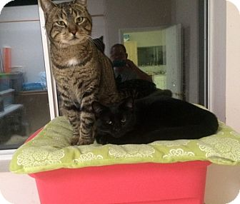 Domestic Shorthair Cat for adoption in Hollister, California - Slate and Blackie