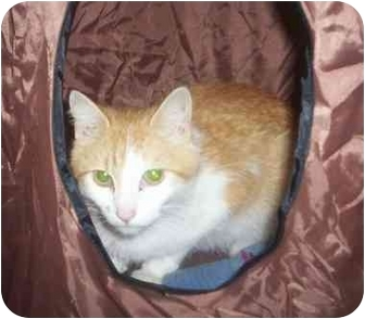 Domestic Shorthair Cat for adoption in St. Louis, Missouri - Sara
