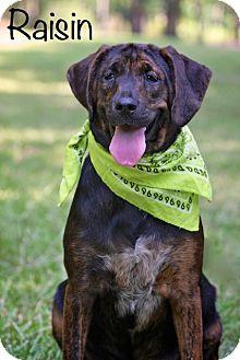 Hound (Unknown Type) Mix Dog for adoption in Wilmington, Delaware - Raisin