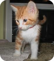 Domestic Shorthair Kitten for adoption in Shelton, Washington - Addison