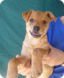 Pug/Beagle Mix Puppy for adoption in Oviedo, Florida - Jax