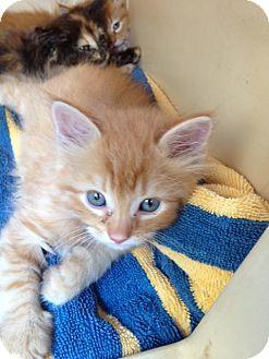 Domestic Shorthair Kitten for adoption in Washington, D.C. - Tig