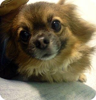 Pomeranian/Pekingese Mix Dog for adoption in Muskegon, Michigan - Patrick
